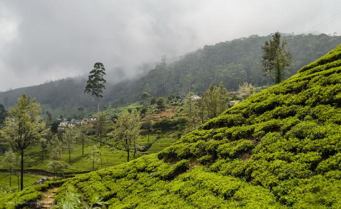 чайные_плантации_chaynye_plantatsii