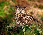 owl_hunting_predator_bird_51243_1280x1024.jpg