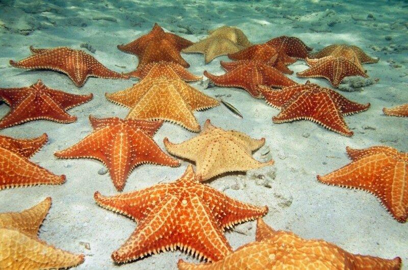 Удивительные существа   морские звезды