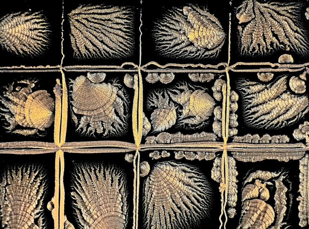Мандибулы водяного паука, помещённые в канадский бальзам.