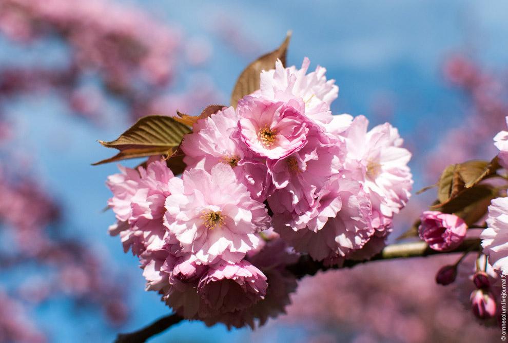 Сакура — неотъемлемая часть японской культуры. Недолговечность вишнёвого цвета — это метафориче