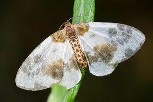 s:дневные бабочки ,c:белые,c:c темными пятнами