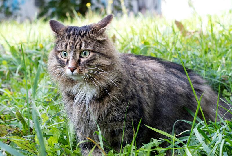 Настороженная полосатая кошка