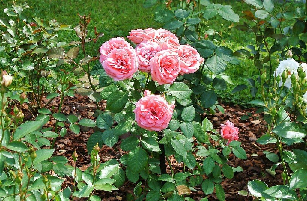 Парковые розы..