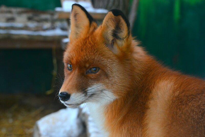 Зимний портрет лисы.