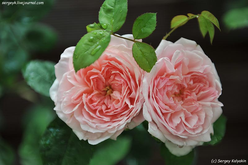 Rosa Eglantyne  (2).JPG
