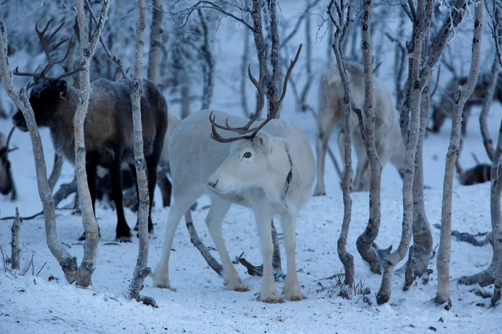 4. Загон для оленей. (Фото Sergei Karpukhin | Reuters):
