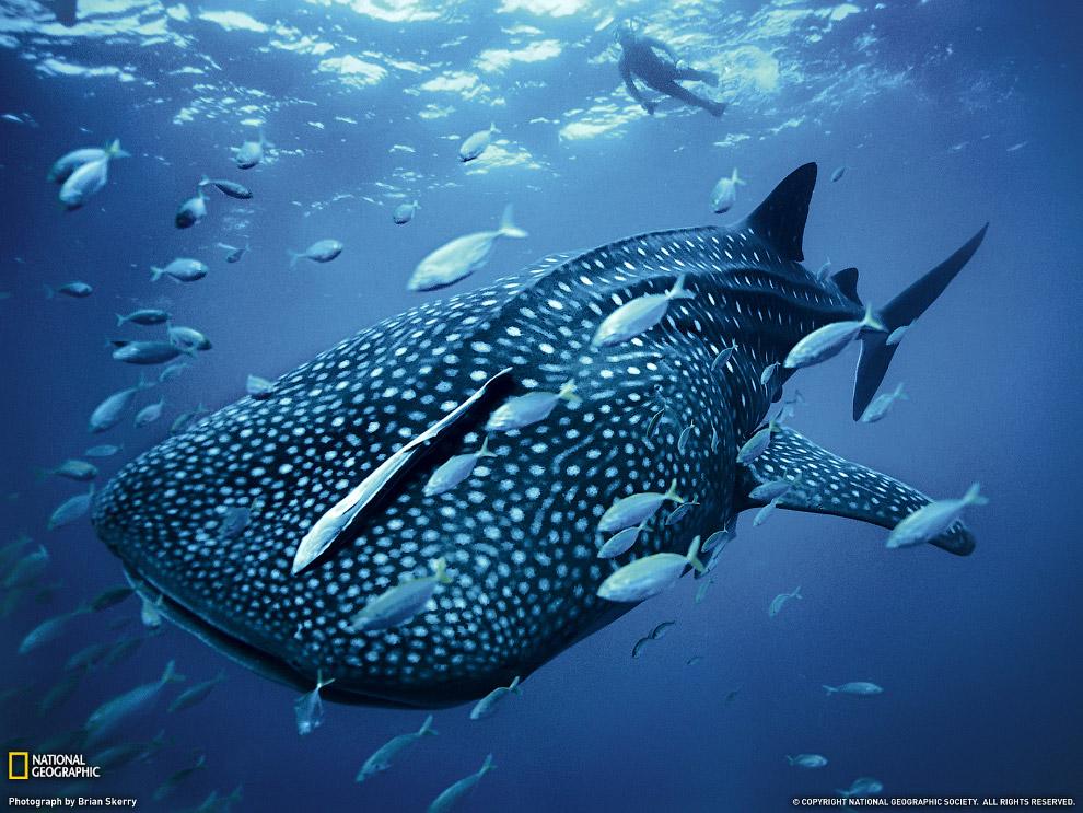 На рифах Мальдивских островов обитает около 26 видов акул, китовых можно встретить здесь на про