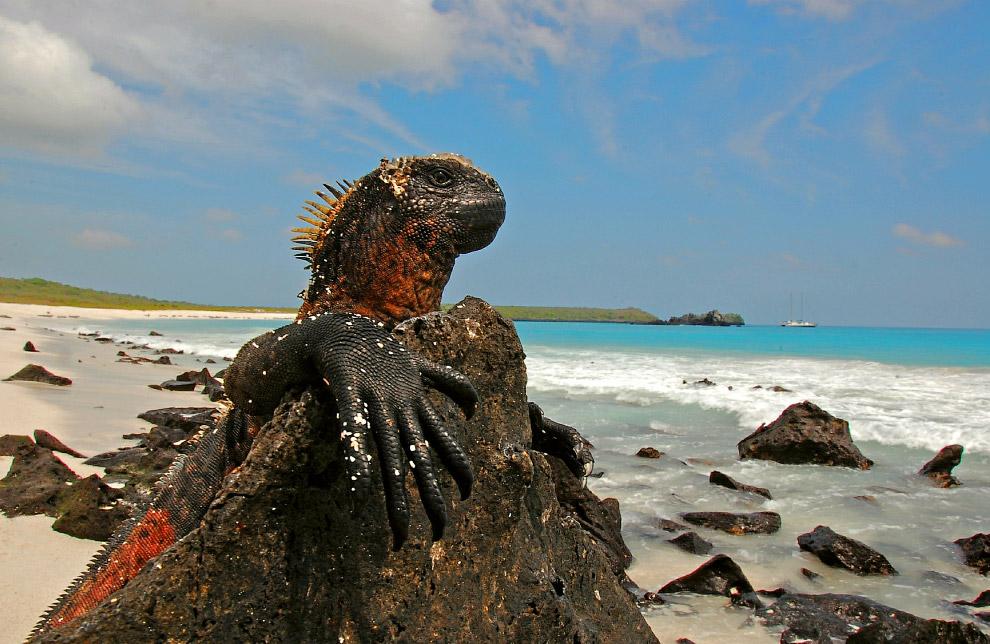 Но несмотря на суровую внешность, морские игуаны — мирные и флегматичные животные, питающиеся и