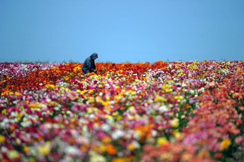 Flowers are seen in Carlsbad, California. The nearly 50 acres of Giant Tecolote Ranunculus flowers t