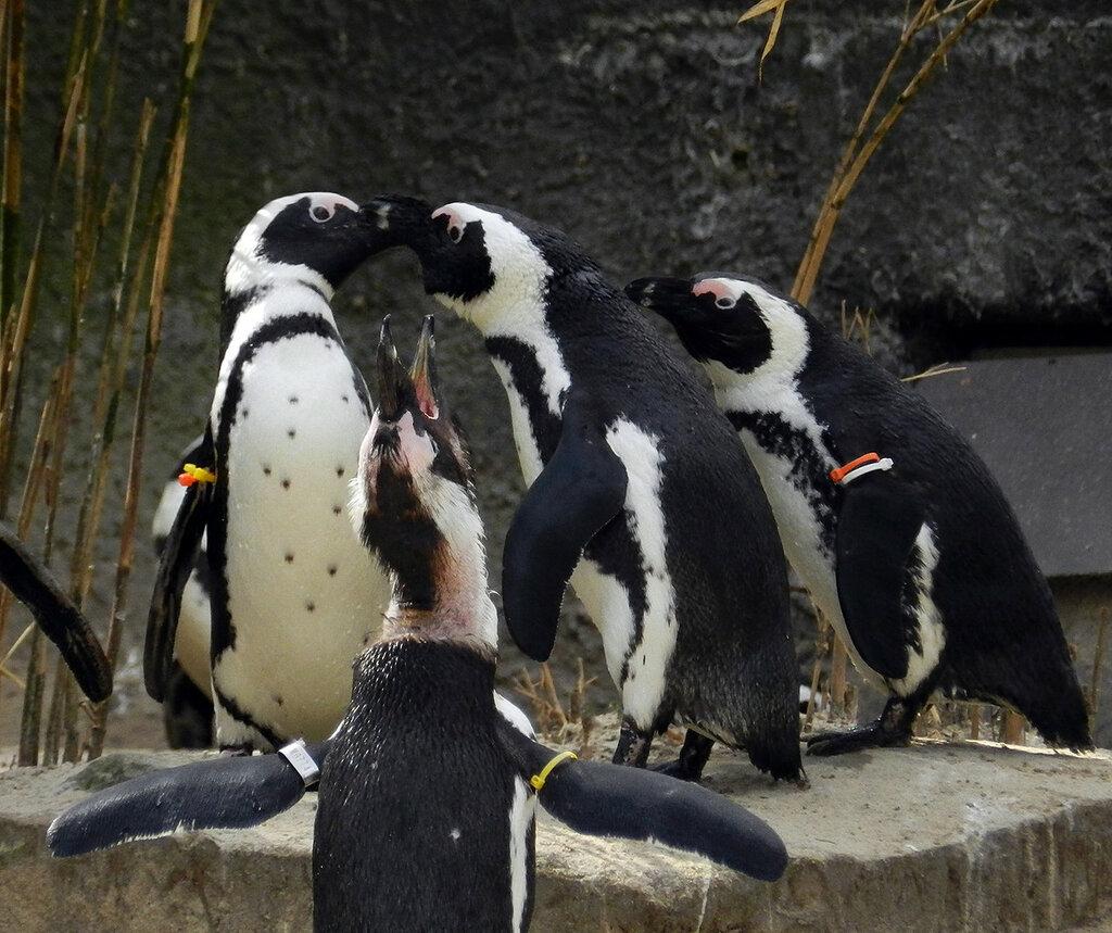 схема тела - пингвинов