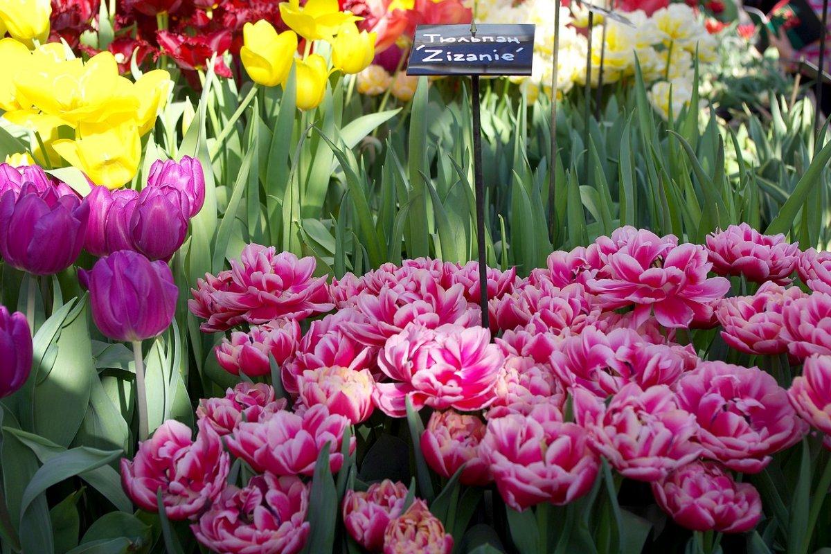 Купить тюльпаны Zizanie недорого