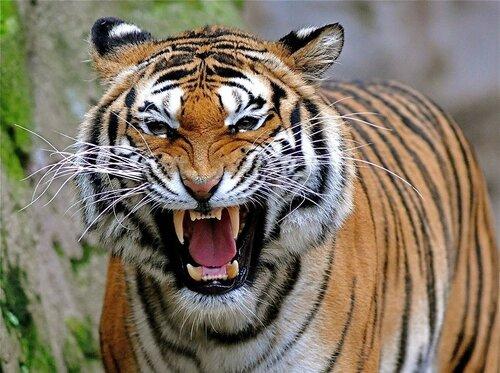 В Индии беспилотники помогли выследить тигрицу-людоеда