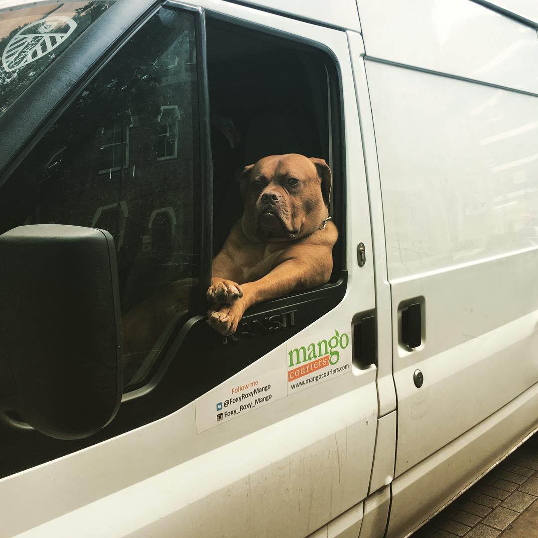 Крутая собака катается по Лондону в фургоне