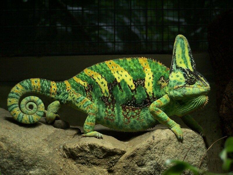 Очаровательные йеменские хамелеончики