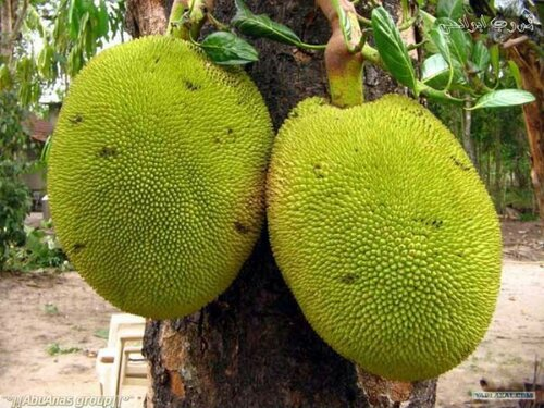 Jackfruit is the breadfruit - Jackfruit on the outside
