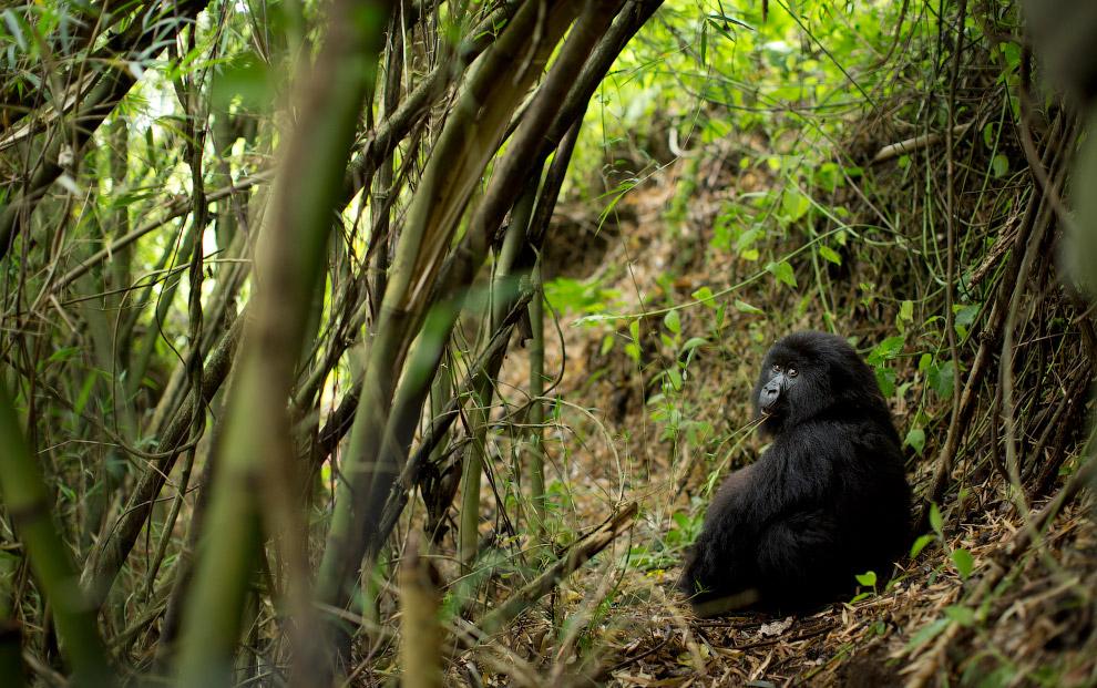 7. Папаша показывает, кто в джунглях хозяин. Мамаша вникает. (Фото Ben Curtis):