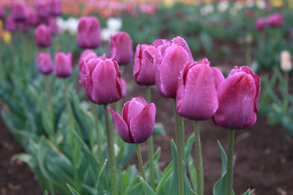 Продажа луковиц тюльпанов Эбигеил из Голландии