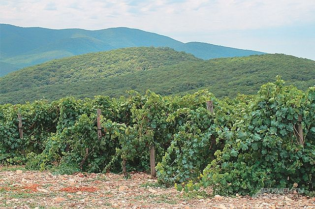 НаКубани открыли первый встране высокотехнологичный виноградный питомник