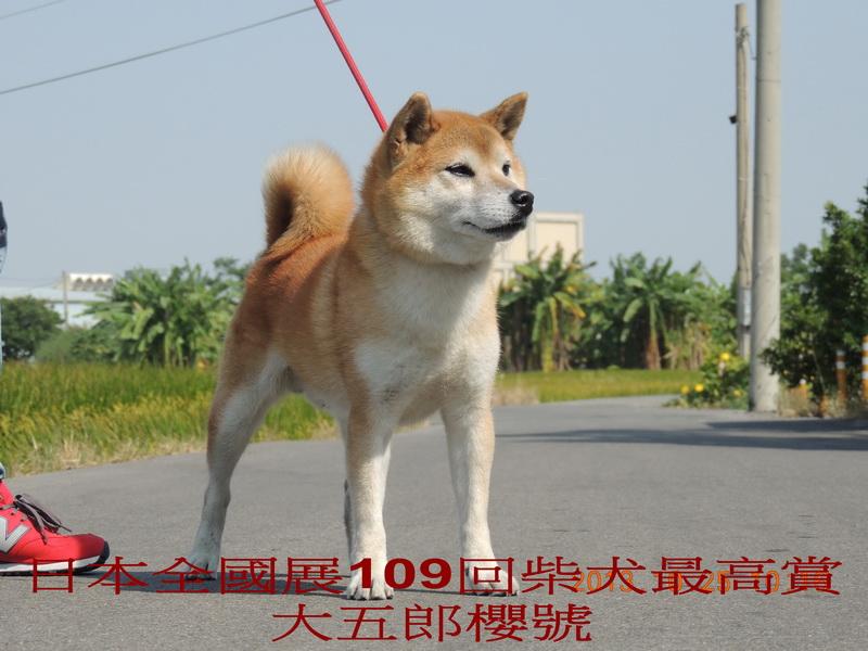 Daigoro Zakura Go (1).jpg