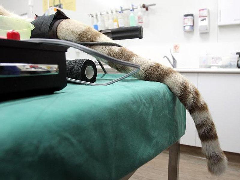 5. Редкий бенгальский тигр еще с утра почувствовал, что что-то не так, так как начал нервно ходить п
