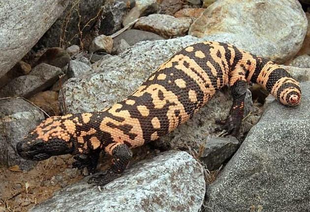 Круглоголовка (PHRYNOCEPHALUS) Ее называют жабоголовой агамой – она маленькая, живет в пустые