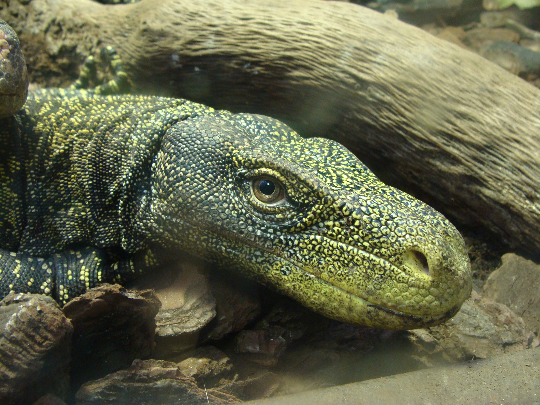 Гекконы Гекконы — обширное семейство небольших и средней величины весьма своеобразных ящериц,