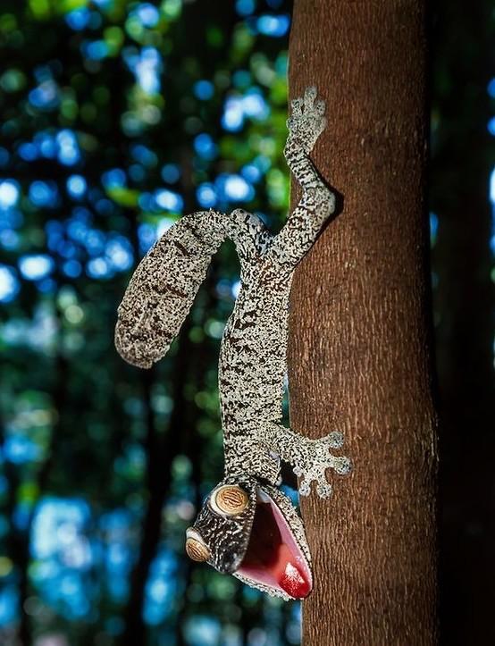 У ящериц гекконов веки отсутствуют, поэтому они вынуждены периодически смачивать специальную прозрач