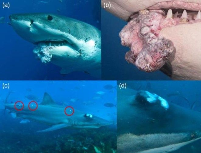 Позже ученые доказали, что у акул тоже может быть рак. На само деле, было зарегистрировано 42 случая