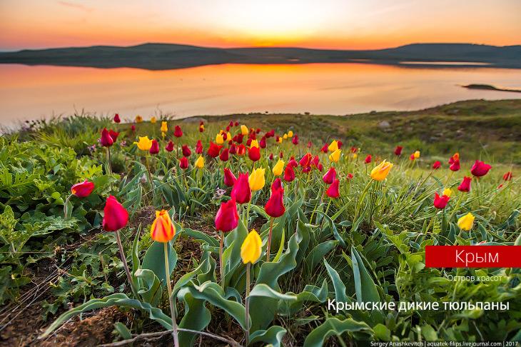 Фотографии и текст Сергей Анашкевича   1. Здесь, в Крыму, занесенные в Красную Книгу тюльпан