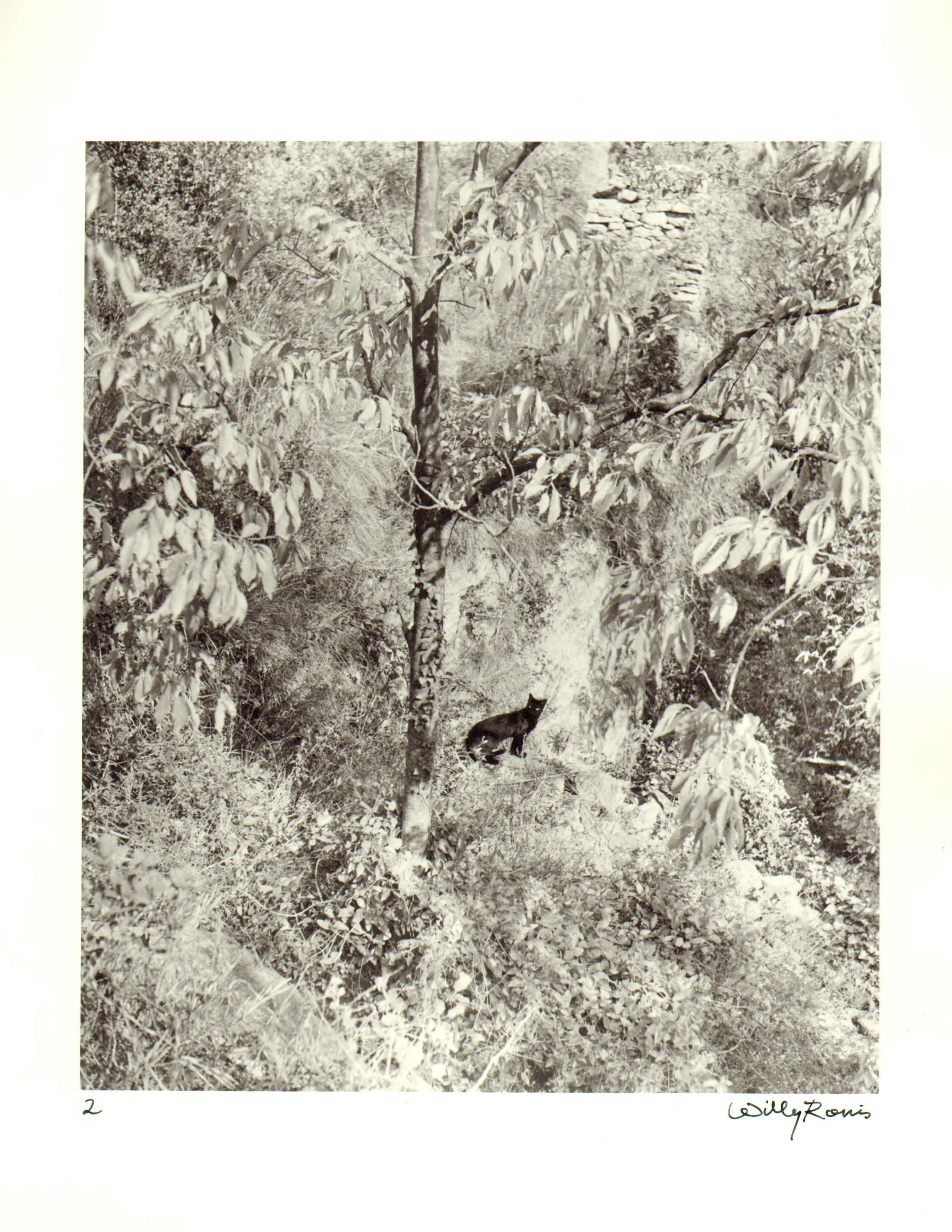 1951. Удивленный кот