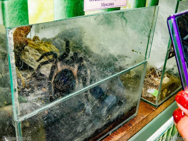 Паук птицеяд гигантский, Мексика