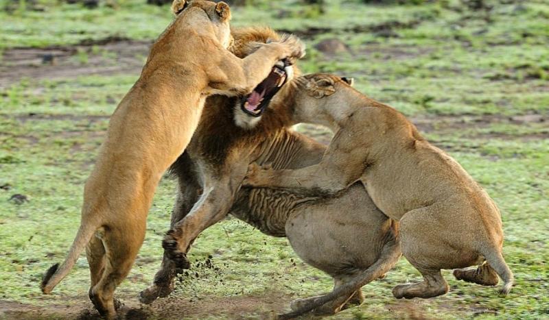 Потрясающая битва огромных кошек в саванне
