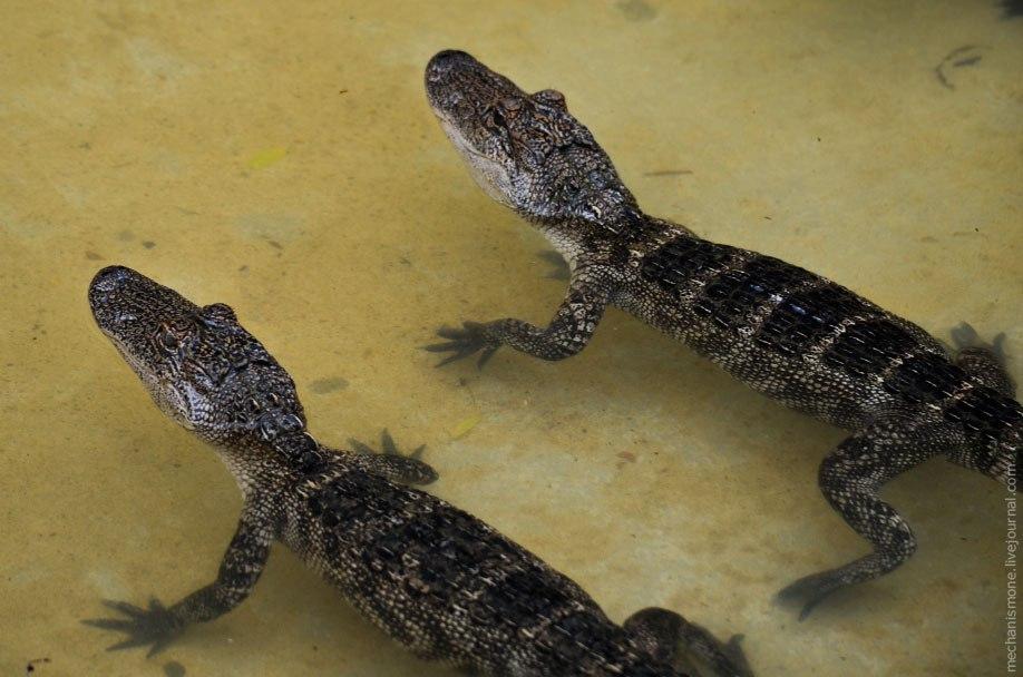 Поэтому аллигаторы Луизианы больше, чем аллигаторы Южной Каролины.