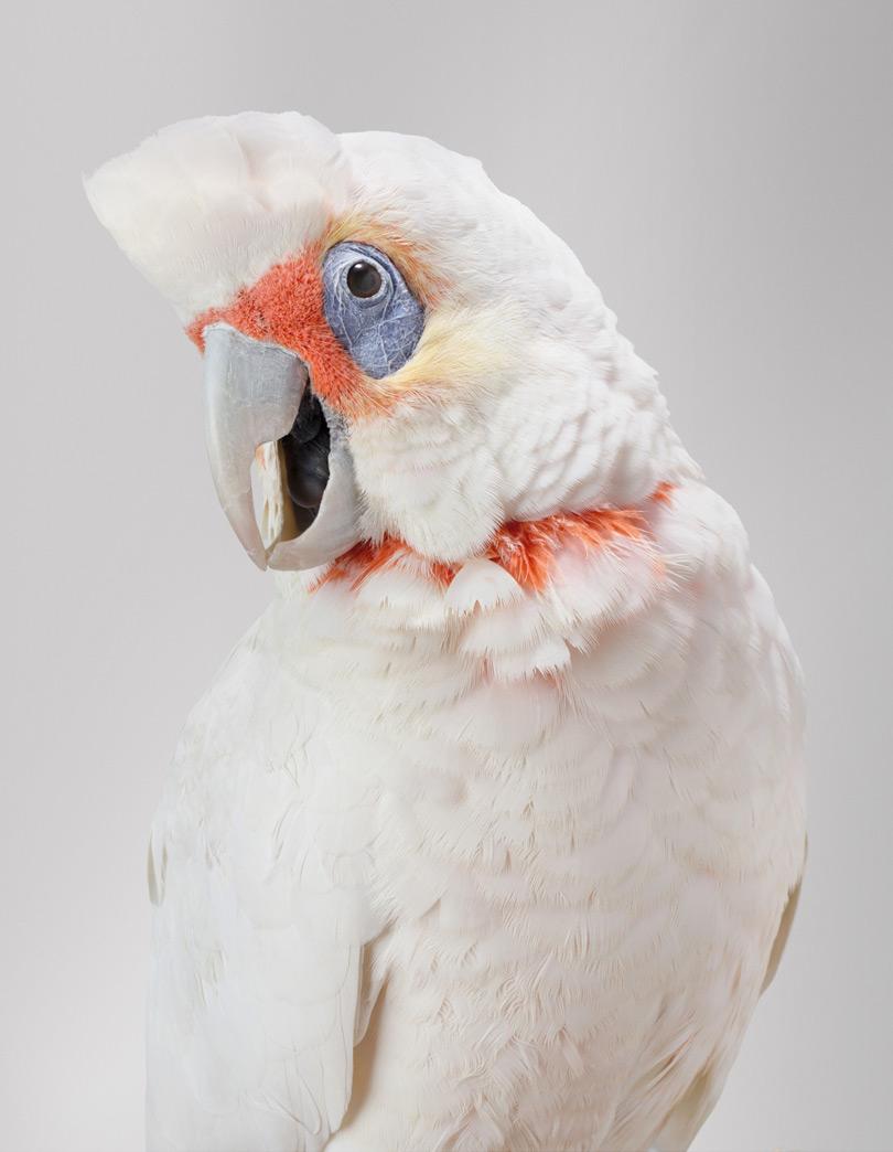 Jarra . Cockatiel.