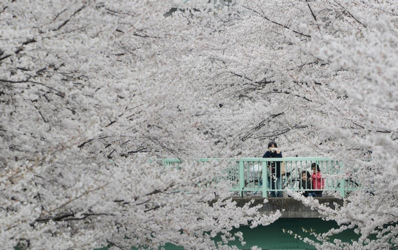 People look at cherry blossoms in full bloom in Tokyo.
