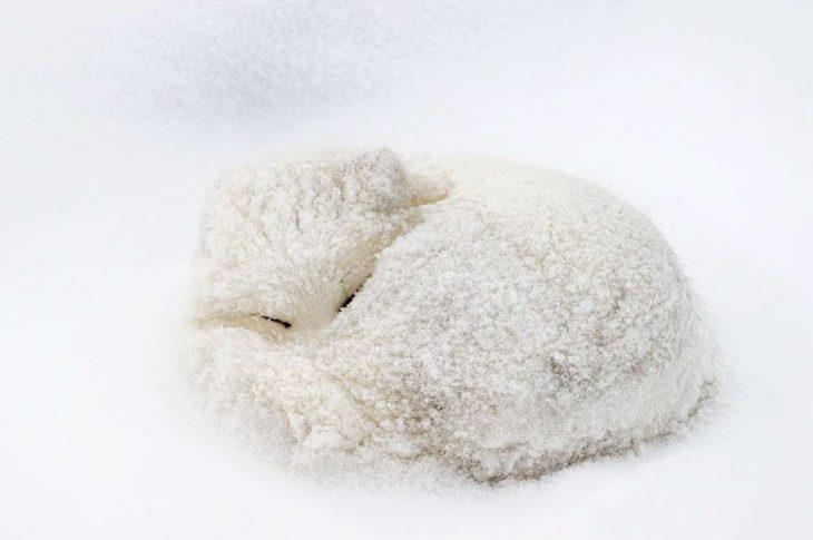 Зимой лисы спят, сворачиваясь в компактный клубочек