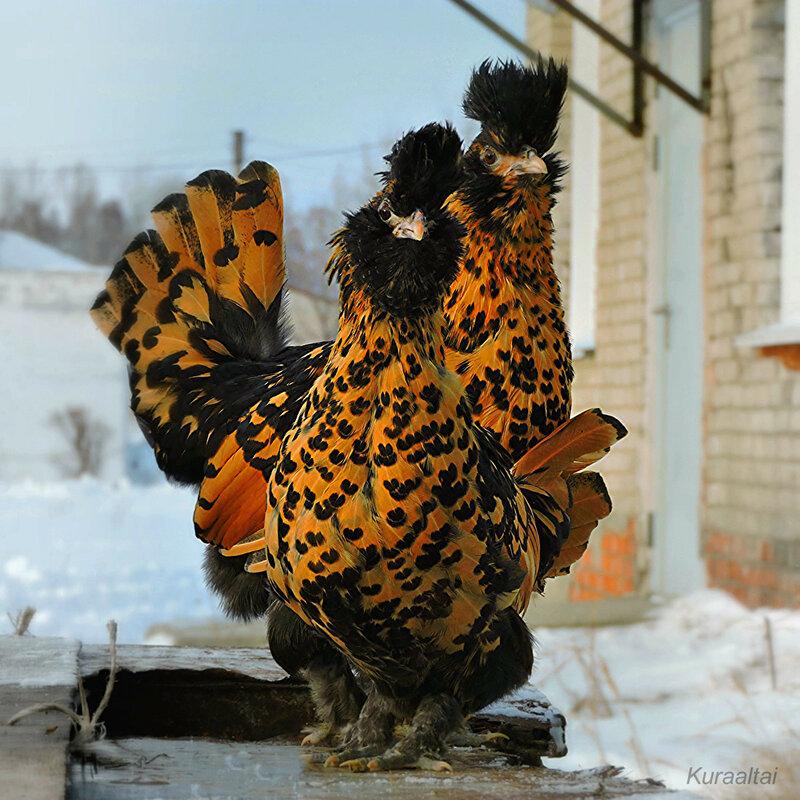 Павловская порода кур. Петушок и Курочка