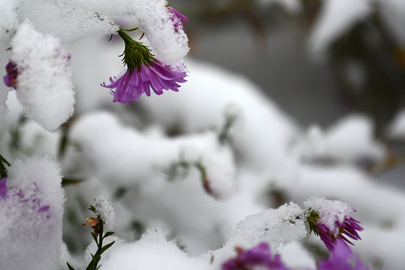 цветы в снегу 17.jpg