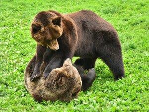Медвежий поединок ...
