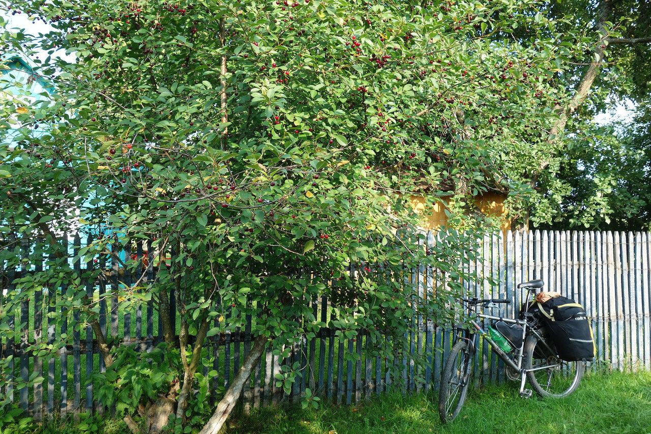 спелые вишни, тысячи их!