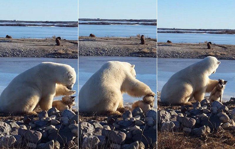 Трогательный момент: белый медведь гладит собаку