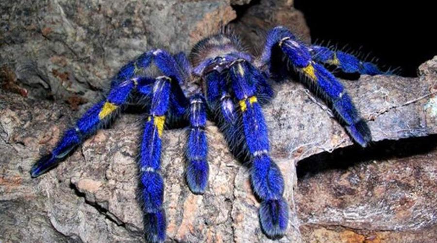 Именно этот вид пауков чаще всего заводят любители экзотики. В природе яркий фиолетово-желтый красав