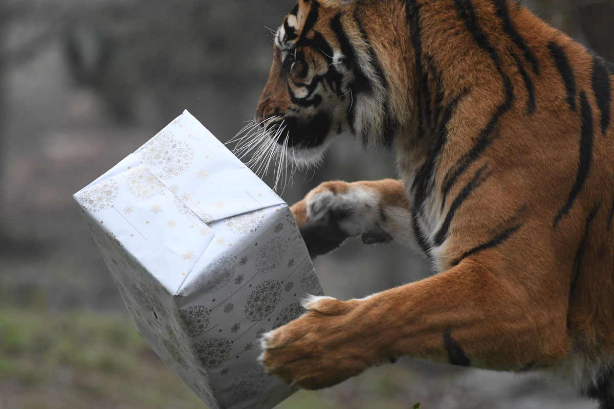 Merry Christmas, мистер Тигр! Как жители зоопарков открывали подарки (15 фото)