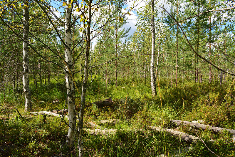 солнечный лес 16 5.jpg