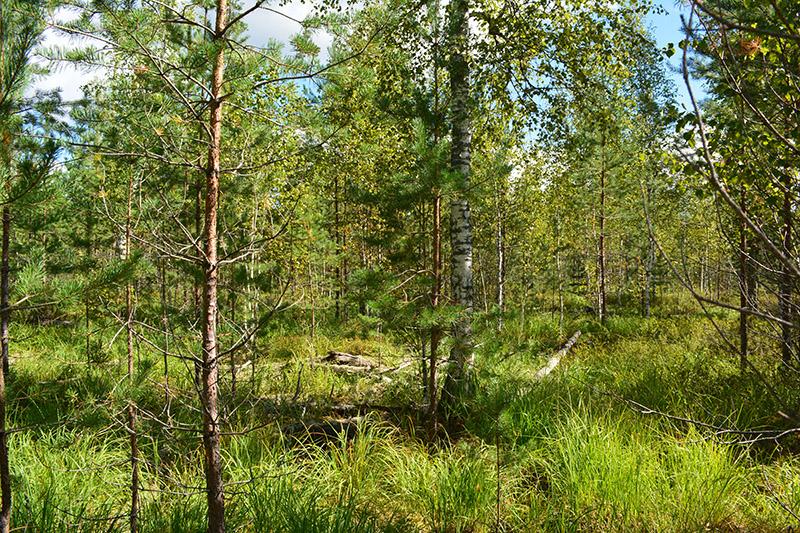 солнечный лес 16 6.jpg