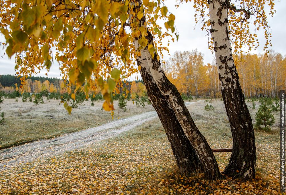три березы с желтой листвой на поле