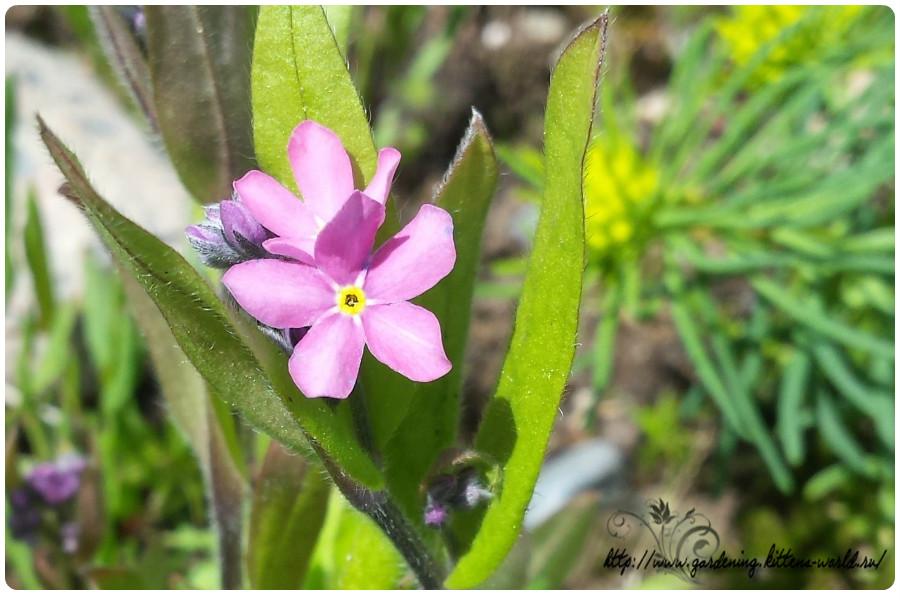 Розовая незабудка — простое выращивание