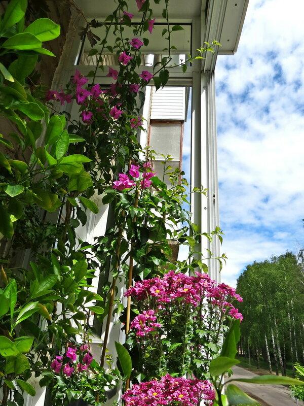 Бугенвиллея и хризантемы
