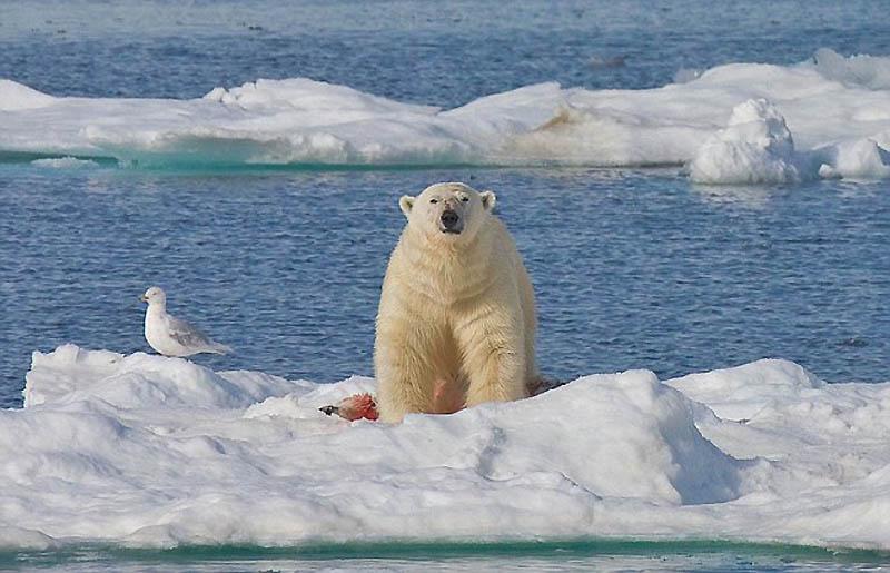 4. Медведь показывает, что убитый – его собственность.